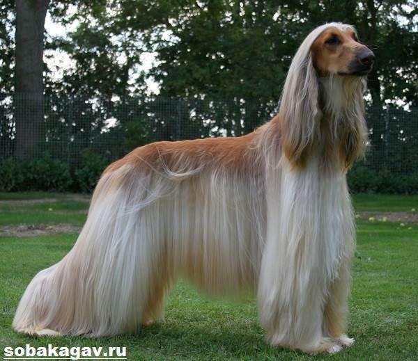 Афганская-борзая-собака-Описание-особенности-уход-и-цена-афганской-борзой-1