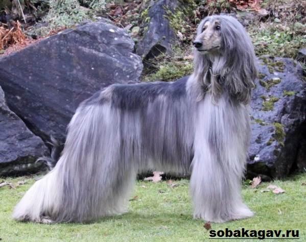 Афганская-борзая-собака-Описание-особенности-уход-и-цена-афганской-борзой-3