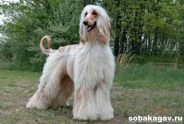 Афганская-борзая-собака-Описание-особенности-уход-и-цена-афганской-борзой-4