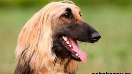 Афганская борзая собака. Описание, особенности, уход и цена афганской борзой