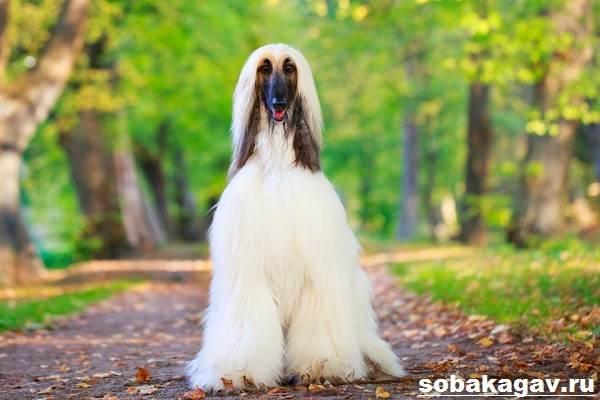 Афганская-борзая-собака-Описание-особенности-уход-и-цена-афганской-борзой-7