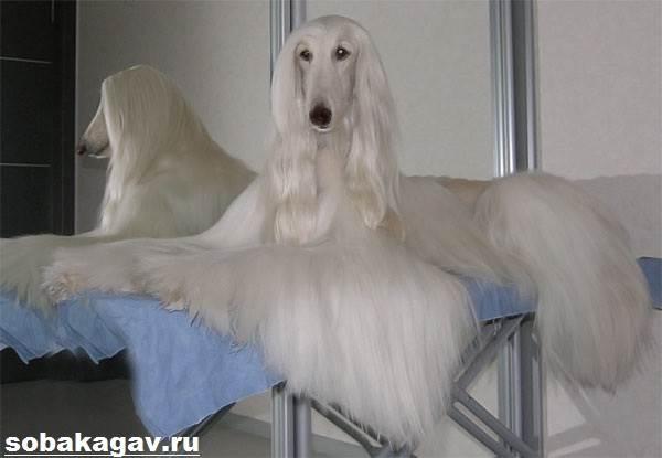 Афганская-борзая-собака-Описание-особенности-уход-и-цена-афганской-борзой-9