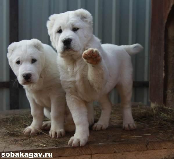 Алабай-собака-Описание-особенности-уход-и-цена-алабая-10
