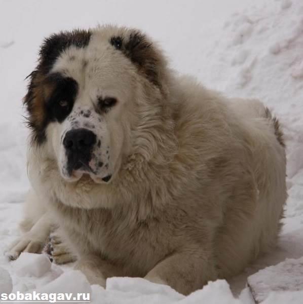 Алабай-собака-Описание-особенности-уход-и-цена-алабая-2