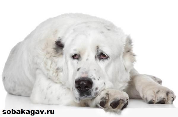 Алабай-собака-Описание-особенности-уход-и-цена-алабая-3