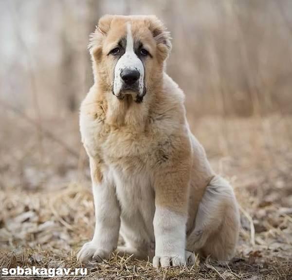 Алабай-собака-Описание-особенности-уход-и-цена-алабая-4