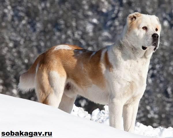 Алабай-собака-Описание-особенности-уход-и-цена-алабая-5
