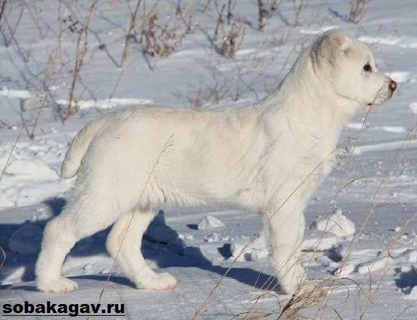 Алабай-собака-Описание-особенности-уход-и-цена-алабая-7