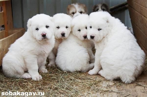 Алабай-собака-Описание-особенности-уход-и-цена-алабая-8
