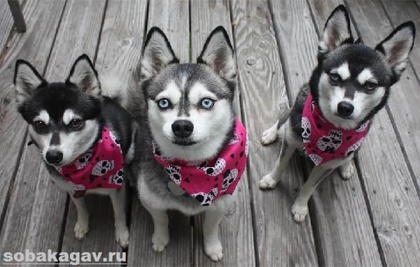 Аляскинский-кли-кай-собака-Описание-особенности-уход-и-цена-аляскинского-кли-кая-1