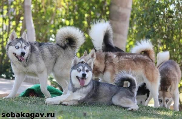 Аляскинский-кли-кай-собака-Описание-особенности-уход-и-цена-аляскинского-кли-кая-10