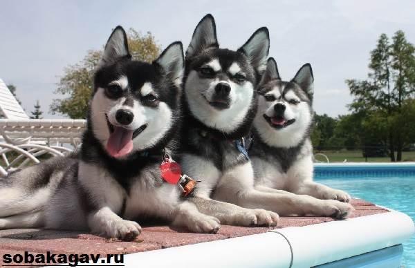 Аляскинский-кли-кай-собака-Описание-особенности-уход-и-цена-аляскинского-кли-кая-4