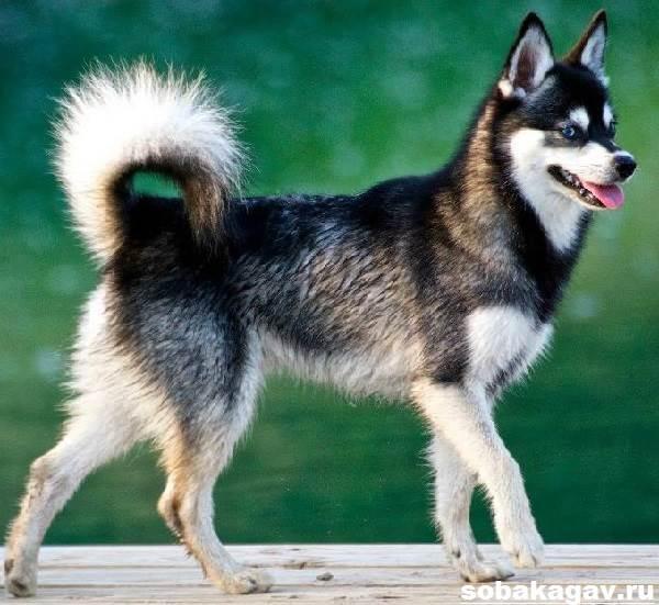 Аляскинский-кли-кай-собака-Описание-особенности-уход-и-цена-аляскинского-кли-кая-5
