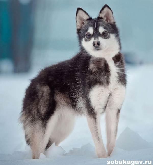 Аляскинский-кли-кай-собака-Описание-особенности-уход-и-цена-аляскинского-кли-кая-6