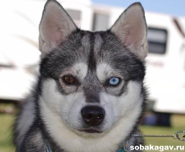 Аляскинский-кли-кай-собака-Описание-особенности-уход-и-цена-аляскинского-кли-кая-7