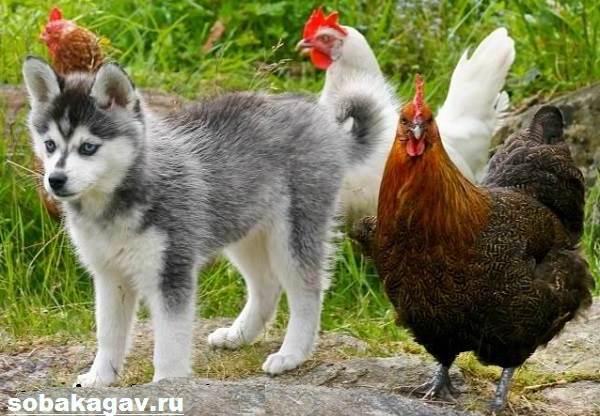 Аляскинский-кли-кай-собака-Описание-особенности-уход-и-цена-аляскинского-кли-кая-8
