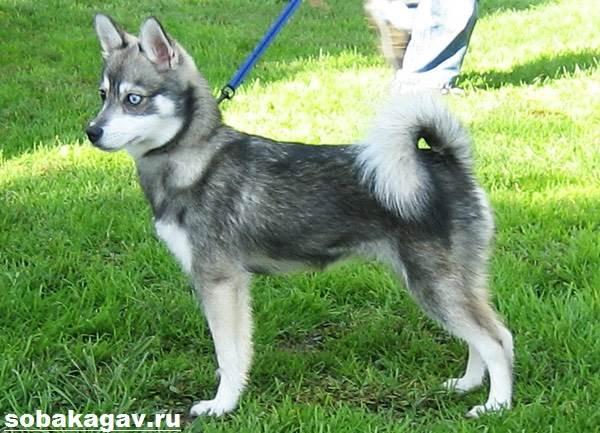 Аляскинский-кли-кай-собака-Описание-особенности-уход-и-цена-аляскинского-кли-кая-9