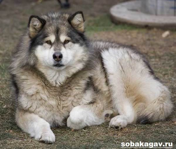 Аляскинский-маламут-собака-Описание-уход-и-цена-аляскинского-маламута-1