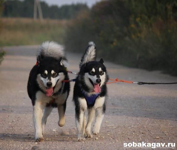 Аляскинский-маламут-собака-Описание-уход-и-цена-аляскинского-маламута-10