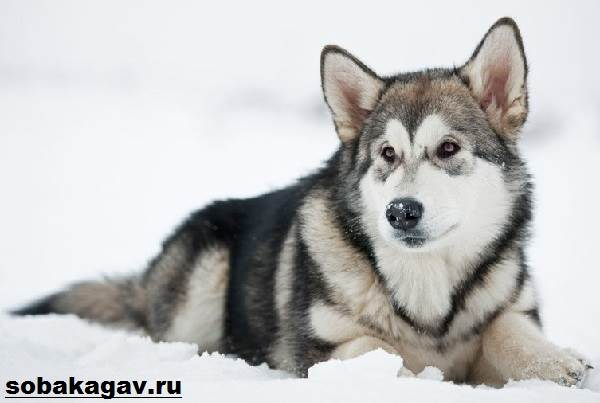 Аляскинский-маламут-собака-Описание-уход-и-цена-аляскинского-маламута-2
