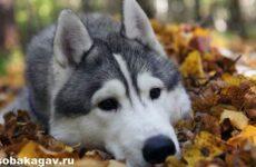 Аляскинский маламут собака. Описание, уход и цена аляскинского маламута