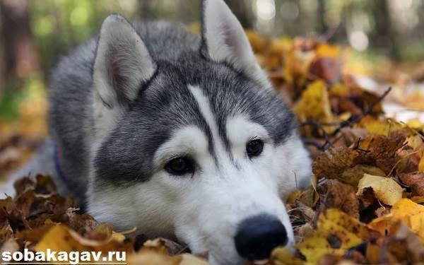Аляскинский-маламут-собака-Описание-уход-и-цена-аляскинского-маламута-3