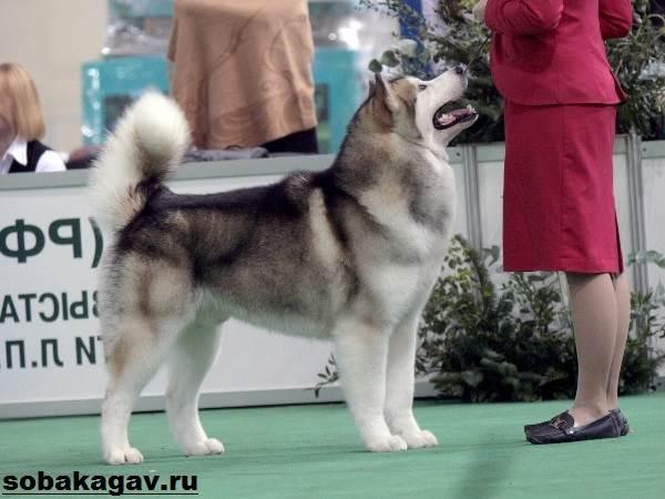 Аляскинский-маламут-собака-Описание-уход-и-цена-аляскинского-маламута-4
