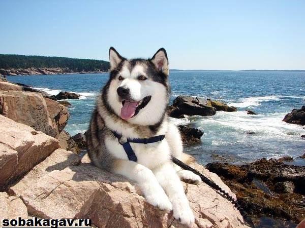 Аляскинский-маламут-собака-Описание-уход-и-цена-аляскинского-маламута-7