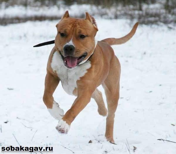 Американский-стаффордширский-терьер-собака-Описание-особенности-уход-и-цена-породы-10