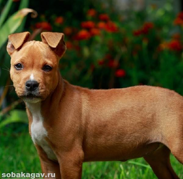 Американский-стаффордширский-терьер-собака-Описание-особенности-уход-и-цена-породы-3