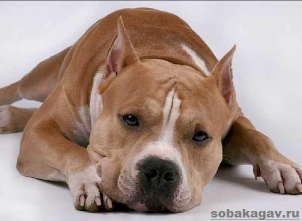 Американский-стаффордширский-терьер-собака-Описание-особенности-уход-и-цена-породы-7