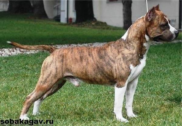 Американский-стаффордширский-терьер-собака-Описание-особенности-уход-и-цена-породы-8