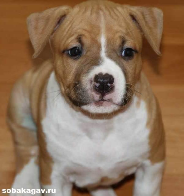 Американский-стаффордширский-терьер-собака-Описание-особенности-уход-и-цена-породы-9