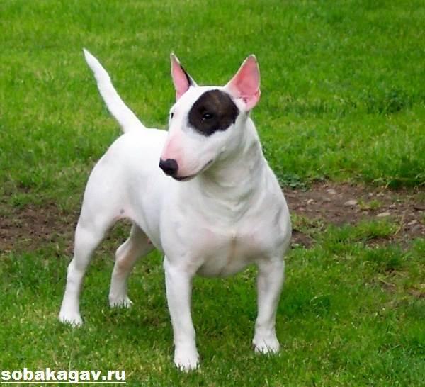 Английский-бультерьер-собака-Описание-особенности-уход-и-цена-породы-1