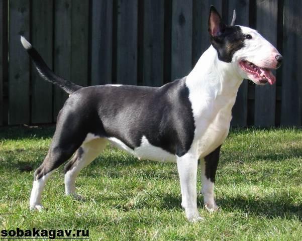 Английский-бультерьер-собака-Описание-особенности-уход-и-цена-породы-10