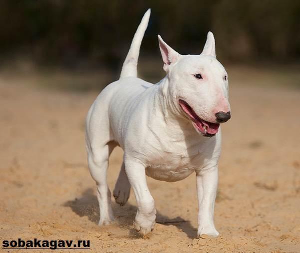 Английский-бультерьер-собака-Описание-особенности-уход-и-цена-породы-11