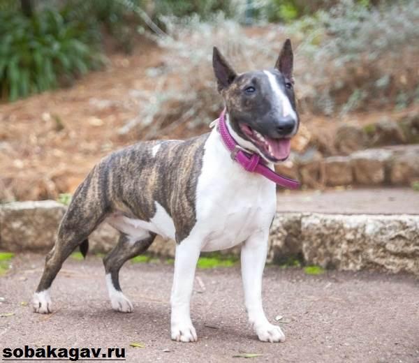 Английский-бультерьер-собака-Описание-особенности-уход-и-цена-породы-2