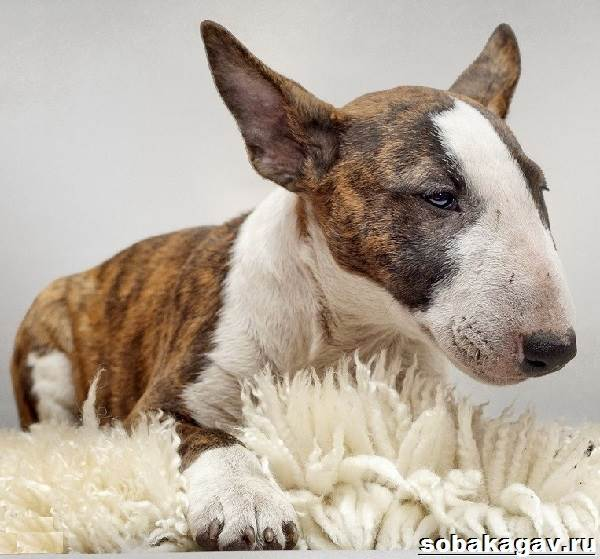 Английский-бультерьер-собака-Описание-особенности-уход-и-цена-породы-4