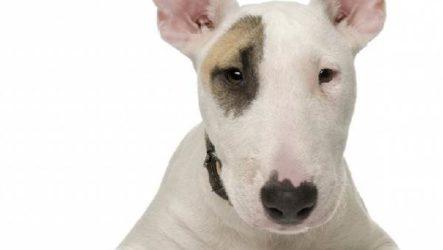 Английский бультерьер собака. Описание, особенности, уход и цена породы