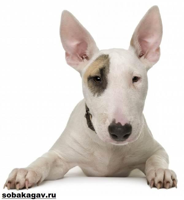 Английский-бультерьер-собака-Описание-особенности-уход-и-цена-породы-