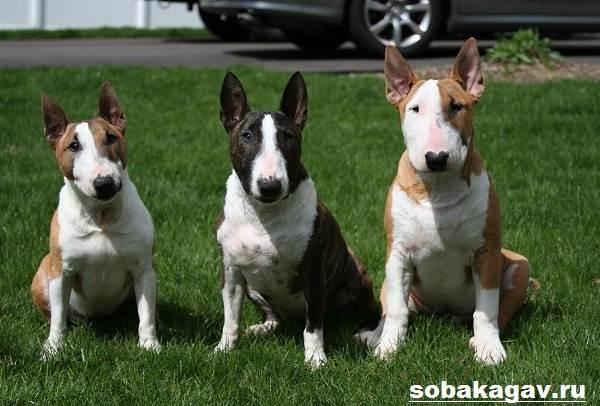Английский-бультерьер-собака-Описание-особенности-уход-и-цена-породы-6