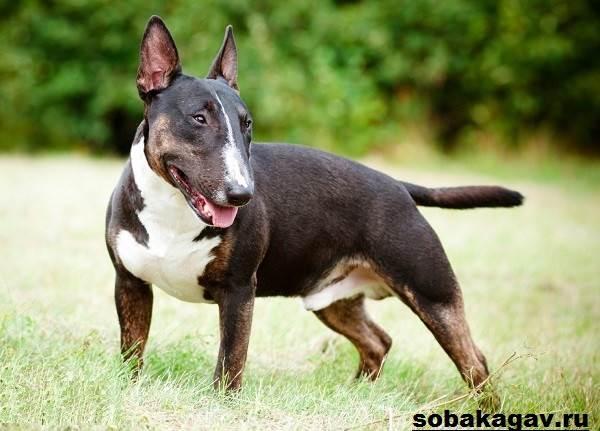 Английский-бультерьер-собака-Описание-особенности-уход-и-цена-породы-7