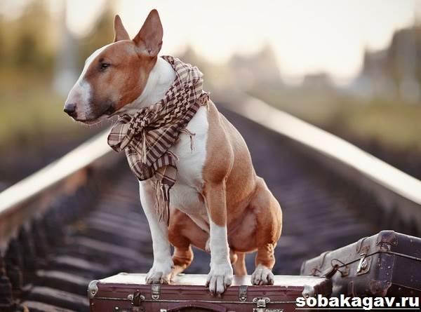 Английский-бультерьер-собака-Описание-особенности-уход-и-цена-породы-9