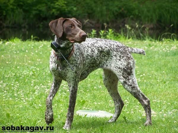 Английский-пойнтер-собака-Описание-особенности-уход-и-цена-английского-пойнтера-2