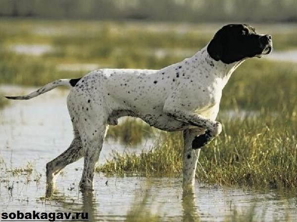Английский-пойнтер-собака-Описание-особенности-уход-и-цена-английского-пойнтера-3