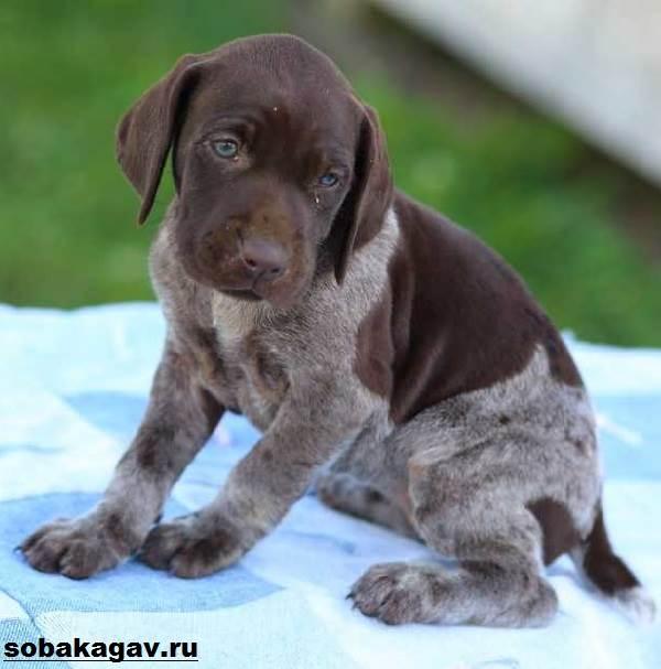 Английский-пойнтер-собака-Описание-особенности-уход-и-цена-английского-пойнтера-4