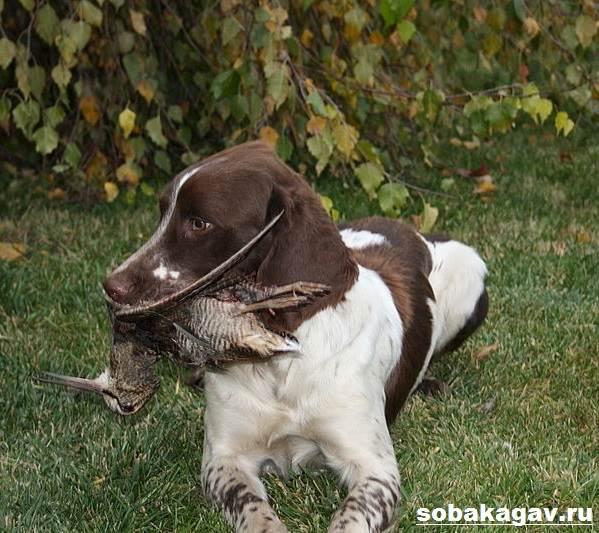 Английский-пойнтер-собака-Описание-особенности-уход-и-цена-английского-пойнтера-6