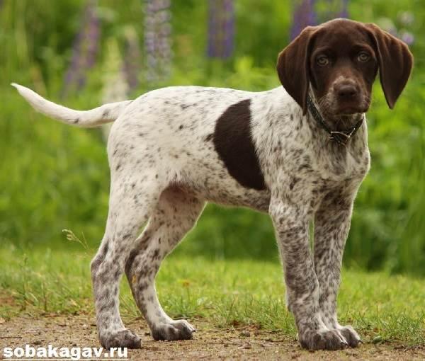Английский-пойнтер-собака-Описание-особенности-уход-и-цена-английского-пойнтера-8