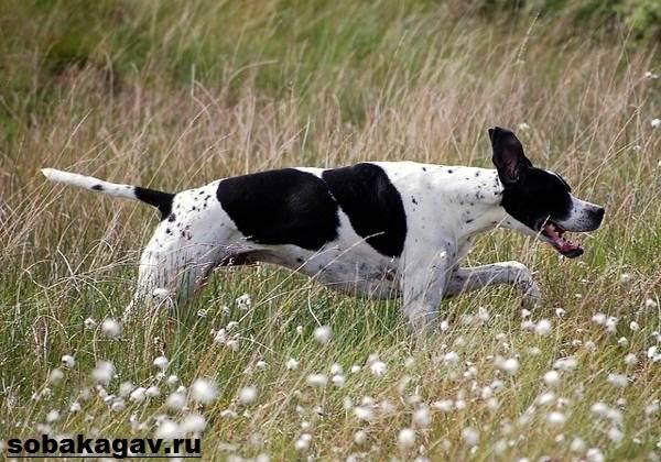 Английский-пойнтер-собака-Описание-особенности-уход-и-цена-английского-пойнтера-9