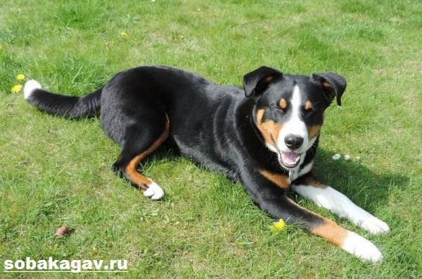 Аппенцеллер-собака-Описание-особенности-уход-и-цена-аппенцеллера-10